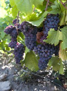 Druer - lette rødvin