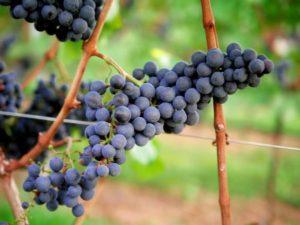 Høst og modning af druer til rødvin