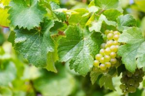Hvidvin druer