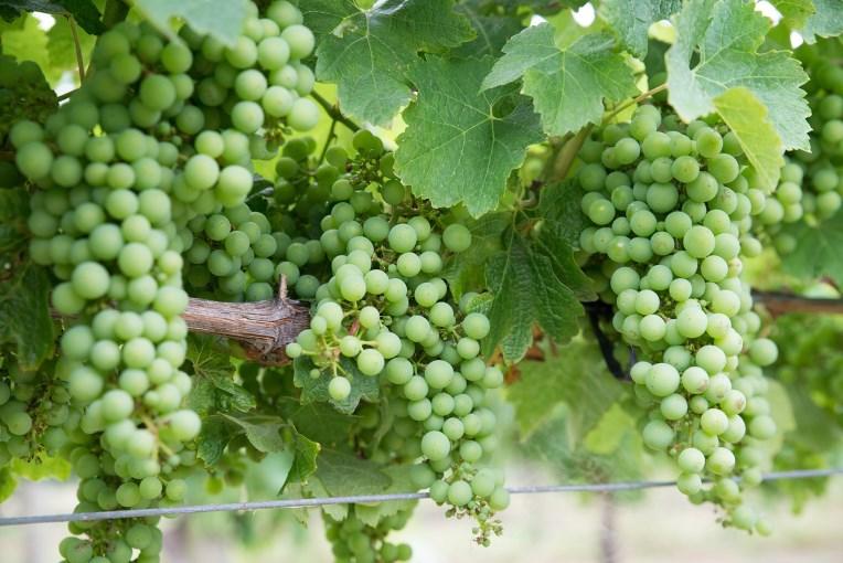 Chardonnay druen