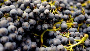 Pinot Noir Druen