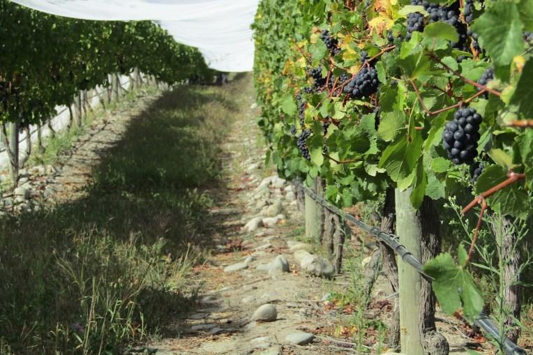 Hawkes Bay vin